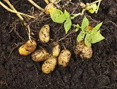 stock photo of root-crops  - fresh potato vegetable with tubers in soil dirt surface background - JPG
