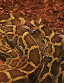 foto of anaconda  - Close up of the bright - JPG