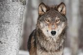 stock photo of birching  - Grey Wolf  - JPG