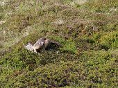 Marmot On A Mountain Meadow