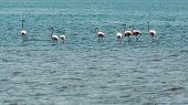 stock photo of pink flamingos  - Pink flamingos wading in the waters of Lake Abiyata found in Oromia region of Ethiopia - JPG