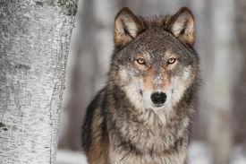 stock photo of lupus  - Grey Wolf  - JPG
