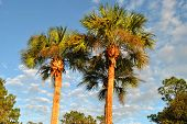 pic of washingtonia  - Washingtonia robusta palm trees in Florida USA - JPG