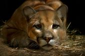 pic of mountain lion  - moutain lion  - JPG