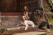 stock photo of english setter  - Gun dog near to shot - JPG