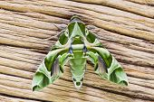 image of hawk moth  - Close up of Oleander Hawk - JPG