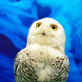 picture of snowy owl  - Closeup Snowy Owl  - JPG