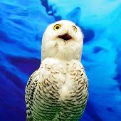 pic of snowy owl  - Closeup Snowy Owl  - JPG