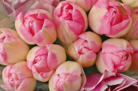 image of fragile  - Bunch Of Pink Spring Tulips blooming for Easter and Valentine - JPG