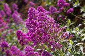 stock photo of butterfly-bush  - healthy pink buddleia butterfly bush in bloom - JPG