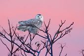 stock photo of sun perch  - Snowy Owl  - JPG