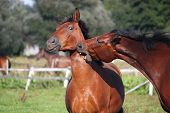 picture of playmate  - Two brown horses playing with each other - JPG