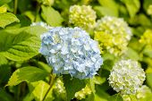 stock photo of hydrangea  - Light blue Hydrangea macrophylla - JPG