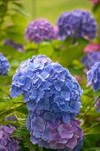 picture of hydrangea  - Close up of Blue Hydrangea blooming in summer garden - JPG
