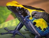 image of poison dart frogs  - poison dart frog - JPG