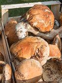picture of porcini  - porcini mushrooms fresh harvest in wodden bowl - JPG