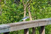 picture of blue jay  - Blue Jay on a wooden fence on green background - JPG