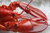 stock photo of lobster  - red lobster on ice - JPG