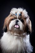stock photo of dog breed shih-tzu  - Funny Shih Tzu dog in studio on a black background - JPG