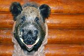 picture of buck teeth  - Closeup stuffed wild boar head with big fangs hanging on wooden wall log - JPG