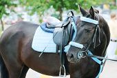 stock photo of girth  - Brown horse with blue harness with saddle stands on street turning his head - JPG