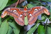 foto of atlas  - Close up of male Atlas moth  - JPG
