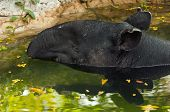 picture of tapir  - A closeup of the head of a tapir in the water - JPG