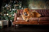 picture of chow  - red Chow chow dog on a retro studio background christmas