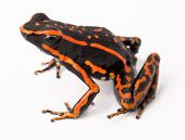 stock photo of orange frog  - red striped poison arrow frog Amereega trivittatus on white - JPG