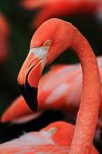 stock photo of red-necked  - detail of red flamingo head and long neck - JPG