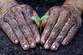 stock photo of nurture  - dirty hands for a gardener growing and nurturing a young tree - JPG