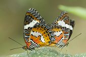 foto of chrysalis  - Pair of red lacewing butterfly perched on leaf - JPG