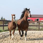 stock photo of foal  - Amazing mare with beautiful foal running together in front of the stable - JPG