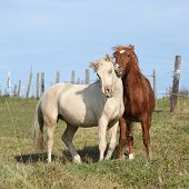 pic of stallion  - Two young stallions playing together on pasturage - JPG