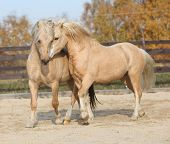 foto of stallion  - Two amazing palomino stallions playing together in autumn welsh mountain pony and welsh pony of cob type - JPG