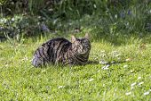 stock photo of cute tiger  - cute tiger cat relaxes at the green grass in the sun - JPG