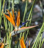 image of bird paradise  - bright birds of paradise flowers in tropical area - JPG