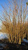 pic of ash-tree  - Edge line of grove - JPG
