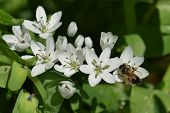 stock photo of six-petaled  - Bee on white flower spring nature detail - JPG