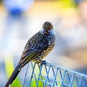 picture of color spot black white  - Black bird with white spots staring with its sharp wide opened eyes - JPG