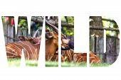 image of bongo  - Word WILD over Bongo Taurotragus euryceros isaaci Antilope - JPG