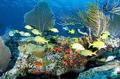stock photo of coral reefs  - Coral Reef Ledge with Sea Fans, Sea Rods, and French Grunts in foreground.  Picture taken in south east Florida.