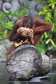 image of orangutan  - Young orangutan with a nut of a coco - JPG