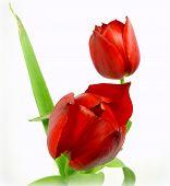 Постер, плакат: red tulips