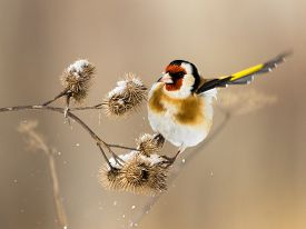 picture of goldfinches  - European Goldfinch flits over the burdock of winter - JPG