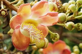 picture of cannonball-flower  - The Macro Couroupita guianensis flower pollen beautiful - JPG