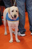 stock photo of seeing eye dog  - Seeing eye attractive and sweet dog for disabled - JPG