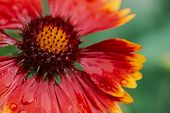 Scenic Flowering Gaillardia Pulchella In Macro. Amazing Wet Red Yellow Flower Close-up With Copy Spa poster