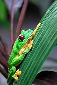 Gliding Tree Frog (agalychnis Spurrelli) Resting On A Leaf In Costa Rica. poster