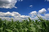 Ladscape at springtime with corn field and fluffy clouds poster